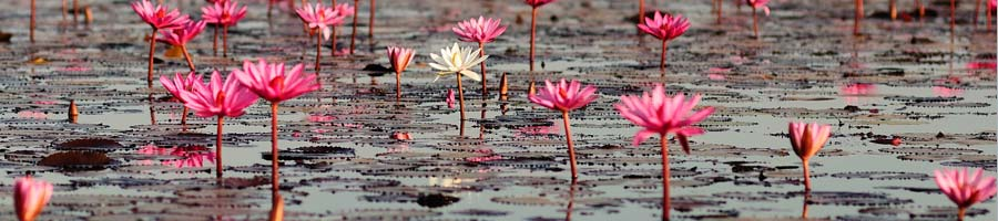 pinkflower_900x200